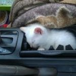 KITTEN IN CAR PICTURE